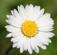 daisy-pictures-2