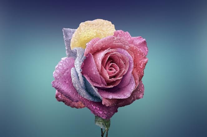 rose-729509_1280